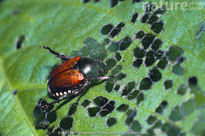 Japanese chafer beetle {Popillia japonica} feeding on Soybean leaf, Japan, ASIA,BEETLES,BEHAVIOUR,CHAFERS,COLEOPTERA,INSECTS,INVERTEBRATES,JAPAN,LEAVES,PESTS, Nature Production