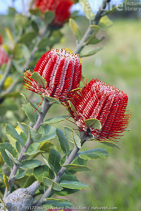 Albany Banksia {Banksia coccinea} flowers, Japan, ASIA,DICOTYLEDONS,JAPAN,PLANTS,PROTEACEAE,RED,VERTICAL, Nature Production