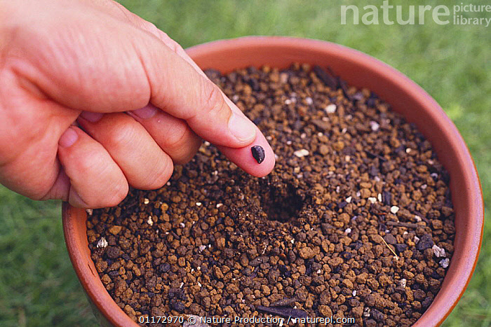Sowing a seed of Morning Glory {Ipomoea nil} in a flowerpot, Japan, ASIA,CLIMBERS,CONVOLVULACAEA,DICOTYLEDONS,GARDENING,GARDENS,HANDS,JAPAN,PEOPLE,PLANTS,SEEDS, Nature Production