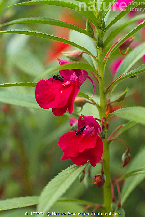 Japanese Wood Ants {Formica japonica} attracted to nectar of Garden Balsam flowers {Impatiens balsamina} Japan, ANT,ANTS,ASIA,HYMENOPTERA,INSECTS,INVERTEBRATES,JAPAN,PLANTS,VERTICAL, Nature Production