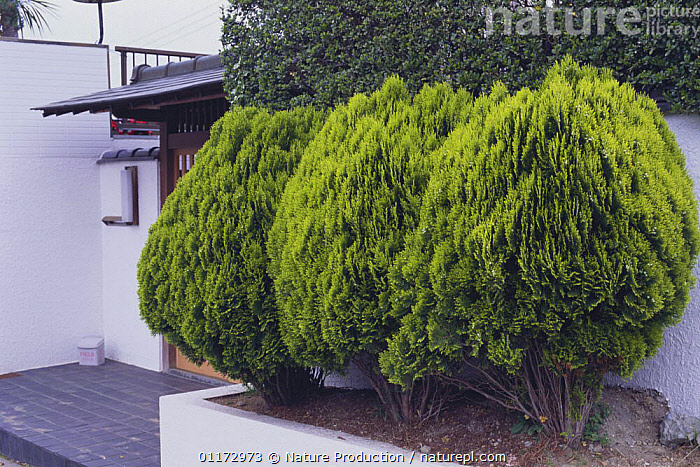 Hedge of {Thuja / Platycladus orientalis} Japan  ,  ASIA,BUILDINGS,CONIFERS,CUPRESSACEAE,GYMNOSPERMS,HEDGES,JAPAN,PLANTS,THREE,TREES,URBAN  ,  Nature Production