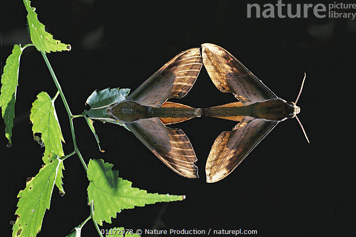 Yam Hawkmoths {Theretra nessus} mating, Japan, ASIA,HAWKMOTHS,INSECTS,INVERTEBRATES,JAPAN,LEPIDOPTERA,MALE FEMALE PAIR,MATING BEHAVIOUR,MOTHS,SYMMETRY,TWO,Reproduction, Nature Production