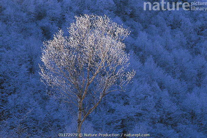 Asian / Japanese white birch tree {Betula platyphylla var. japonica} in winter with ice on outer twigs, Japan, ASIA,BETULACEAE,DICOTYLEDONS,FROST,JAPAN,PLANTS,WOODLANDS,Weather, Nature Production