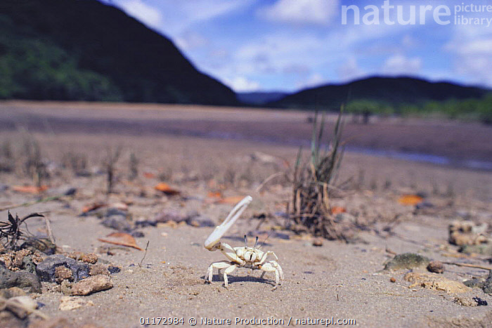 Fiddler crab {Uca perplexa} displaying with its claw raised, Japan, ASIA,BEACHES,CLAWS,CRUSTACEANS,DISPLAY,FIDDLER CRABS,HABITAT,INVERTEBRATES,JAPAN,LITTORAL,Intertidal,Communication, Nature Production