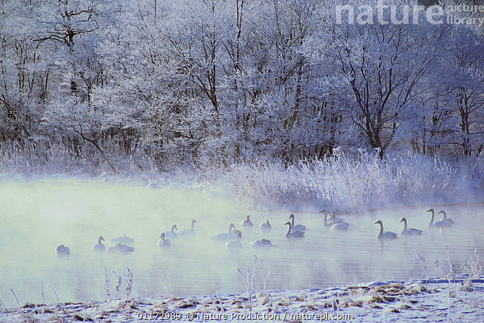 Whooper Swans {Cygnus cygnus} on river in winter in early morning mist, Hokkaido, Japan, BIRDS,COLD,FROST,GROUPS,HABITAT,ICE,RIVERS,SWAN,SWANS,VERTEBRATES,WATERFOWL,Weather,Wildfowl, Waterfowl, Nature Production