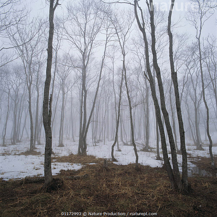 Winter woodland landscape with fog and snow, Hokkaido, Japan, ASIA,COLD,JAPAN,LANDSCAPES,TREES,TRUNKS,Plants, Nature Production