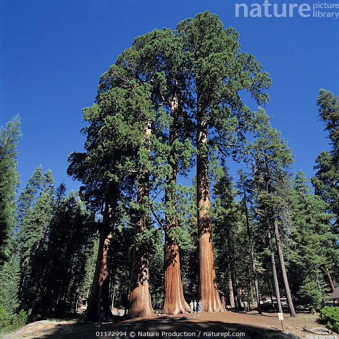 Giant Sequoia trees {Sequoiadendron giganteum} 2000-2500 years old, 500m in height, Sequoia National Park, California, USA, CONIFERS,GROUPS,GYMNOSPERMS,NORTH AMERICA,PLANTS,REDWOOD,RESERVE,SIZE,TALL,TAXODIACEAE,USA, Nature Production