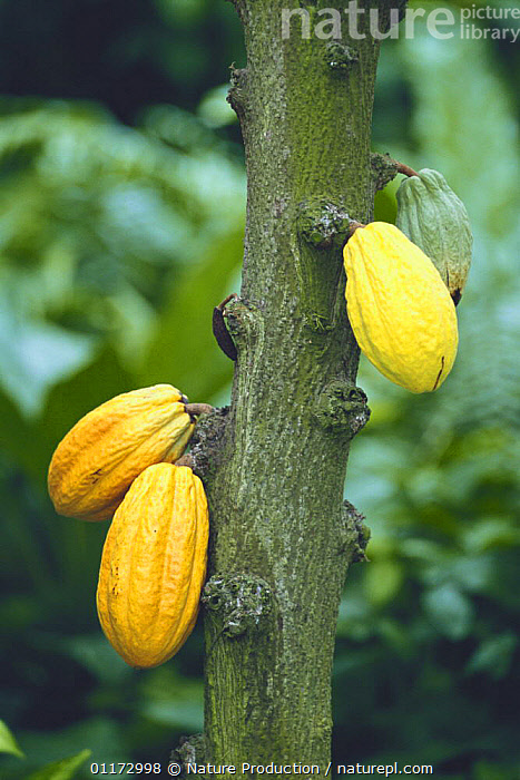 Cocoa beans {Theobroma cacao} Okinawa, Japan, ASIA,CROPS,DICOTYLEDONS,FRUIT,JAPAN,PLANTS,SEEDS,STERCULIACEAE,VERTICAL, Nature Production