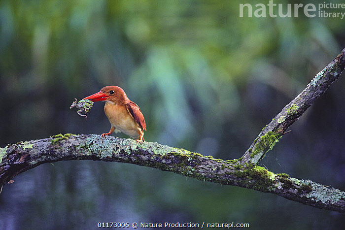 Ruddy kingfisher {Halcyon coromanda} catching Japanese tree frog {Hyla japonica} Hokkaido, Japan, AMPHIBIANS,ASIA,BIRDS,FROGS,JAPAN,KINGFISHERS,PREDATION,VERTEBRATES,Behaviour, Nature Production