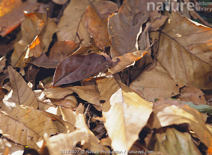 Moth {Adris tyrannus} camouflage amongst fallen leaves, Japan, ASIA,CAMOUFLAGE,INSECTS,INVERTEBRATES,JAPAN,LEAVES,LEPIDOPTERA,MOTHS, Nature Production