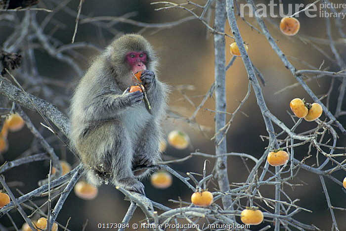 Japanese Macaque {Macaca fuscata} feeding on Japanese / Oriental Persimmon / Kaki fruit  {Diospyros kaki} Yamagata, Japan, ASIA,BEHAVIOUR,JAPAN,MACAQUES,MAMMALS,MONKEYS,PRIMATES,SNOW MONKEY,VERTEBRATES, Nature Production