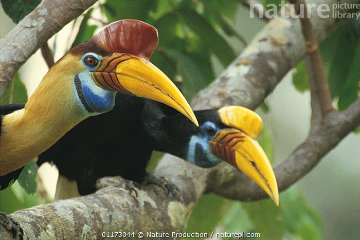 Sulawesi red nosed / knobbed hornbill {Aceros cassidix} Male (left) and female (right) Sulawesi, Indonesia, ASIA,BIRDS,HORNBILLS,MALE FEMALE PAIR,TROPICAL RAINFOREST,TWO,VERTEBRATES,INDONESIA, Nature Production