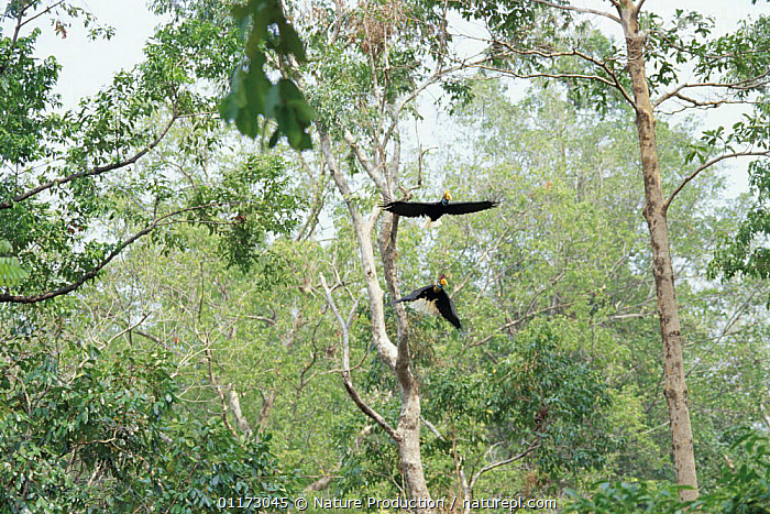 Sulawesi red nosed / knobbed hornbill {Aceros cassidix} pair flying, Sulawesi, Indonesia, ASIA,BIRDS,FLYING,HABITAT,HORNBILLS,MALE FEMALE PAIR,TROPICAL RAINFOREST,VERTEBRATES,INDONESIA, Nature Production