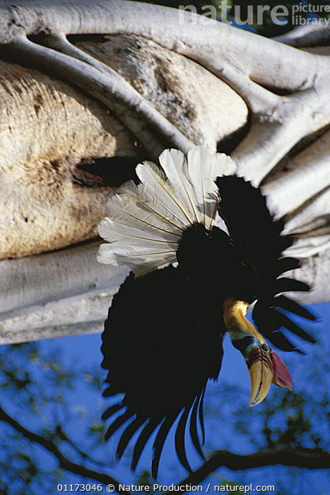 Sulawesi red nosed / knobbed hornbill {Aceros cassidix} male flying from nesthole, Sulawesi, Indonesia, ARTY,ASIA,BEHAVIOUR,BIRDS,FEATHERS,FLYING,HORNBILLS,MALES,TROPICAL RAINFOREST,VERTEBRATES,INDONESIA, Nature Production