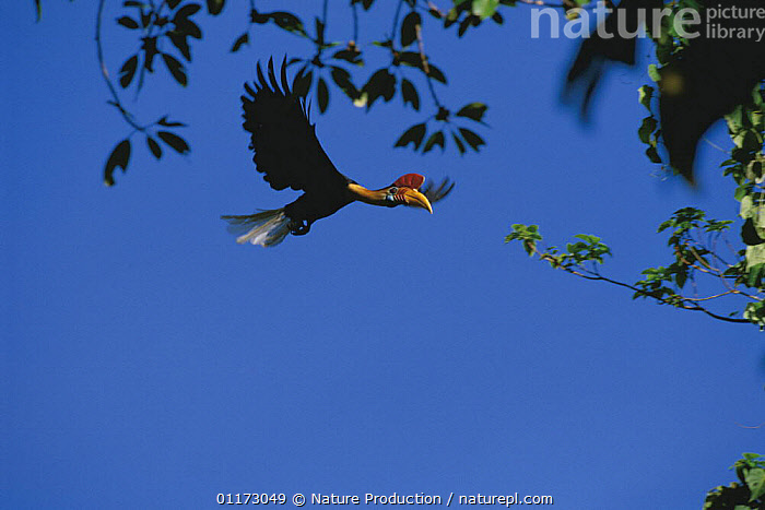 Sulawesi red nosed / knobbed hornbill {Aceros cassidix} male flying, Sulawesi, Indonesia, ASIA,BIRDS,FLYING,HORNBILLS,MALES,TROPICAL RAINFOREST,VERTEBRATES,INDONESIA, Nature Production