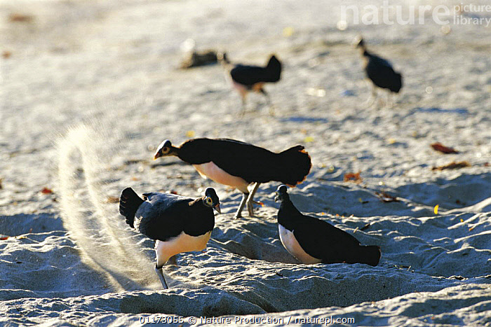 Maleo fowl {Macrocephalon maleo} males digging nests in sand, Sulawesi, Indonesia, ACTION,ASIA,BEACHES,BEHAVIOUR,BIRDS,GROUPS,MALES,NESTING BEHAVIOUR,VERTEBRATES,Reproduction, Nature Production