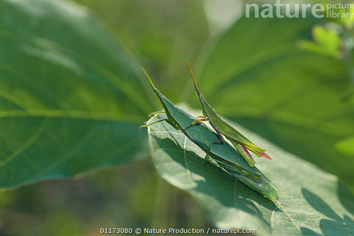 Smaller Longheaded Locust pair {Atractomorpha lata} (small male on top of large female) Japan, ARTHROPODS,ASIA,GRASSHOPPERS,INSECTS,INVERTEBRATES,JAPAN,LOCUSTS,MALE FEMALE PAIR,ORTHOPTERA,SEXUAL DIMORPHISM,SIZE DIFFERENCE,TWO, Nature Production