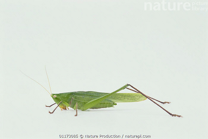 Grasshopper {Homorocoryphus lineosus / nitidulus} male (green type), Japan, ASIA,CUTOUT,GRASSHOPPERS,INSECTS,INVERTEBRATES,JAPAN,LONG HORNED GRASSHOPPERS,ORTHOPTERA,PROFILE, Nature Production