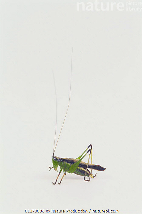 Conehead {Conocephalus melas} male, Japan, CUTOUT,GRASSHOPPER,INSECTS,INVERTEBRATES,LONG HORNED GRASSHOPPERS,MALES,ORTHOPTERA,VERTICAL, Nature Production