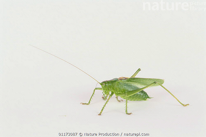 Katydid {Tettigonia orientalis} male, Japan, CUTOUT,GRASSHOPPER,INSECTS,INVERTEBRATES,LONG HORNED GRASSHOPPERS,MALES,ORTHOPTERA,PORTRAITS, Nature Production