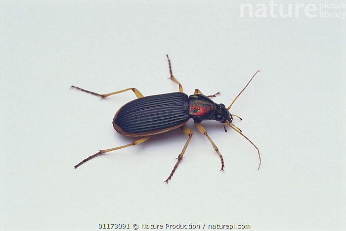 Ground Beetle {Epomis nigricans} Japan, ASIA,COLEOPTERA,CUTOUT,GROUND BEETLES,INSECTS,INVERTEBRATES,JAPAN,PORTRAITS, Nature Production