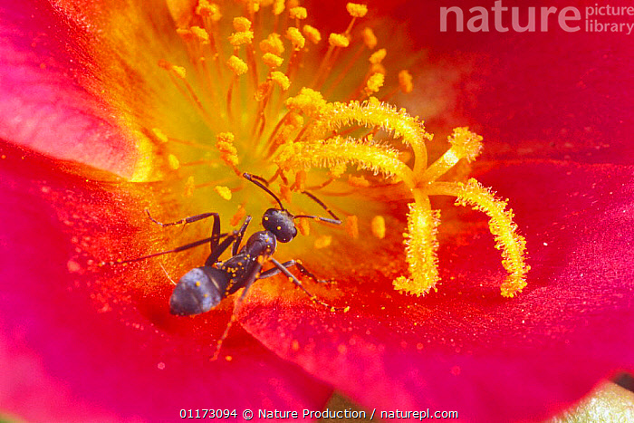 Japanese Wood Ant {Formica japonica} searching for nectar in Portulaca {Portulaca oleracea} 