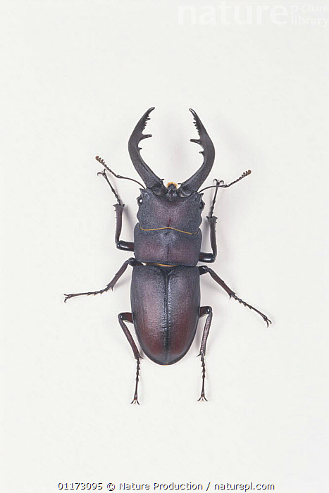 Saw Stag Beetle {Prosopocoilus inclinatus inclinatus} male, Japan, CLAWS,COLEOPTERA,CUTOUT,INSECTS,INVERTEBRATES,MALES,PORTRAITS,STAG BEETLES,VERTICAL, Nature Production