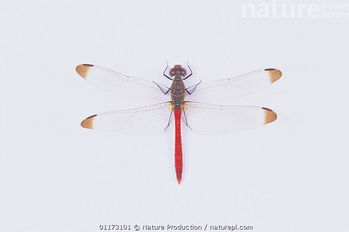 Dragonfly {Sympetrum risi risi} male, Japan, CUTOUT,DRAGONFLIES,INSECTS,INVERTEBRATES,MALES,ODONATA,PORTRAITS, Nature Production