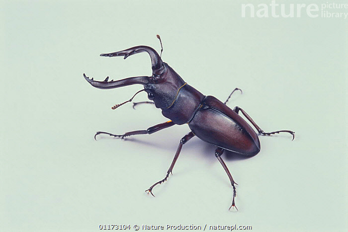 Saw Stag Beetle {Prosopocoilus inclinatus inclinatus} male, Japan, COLEOPTERA,CUTOUT,INSECTS,INVERTEBRATES,PORTRAITS,STAG BEETLES, Nature Production