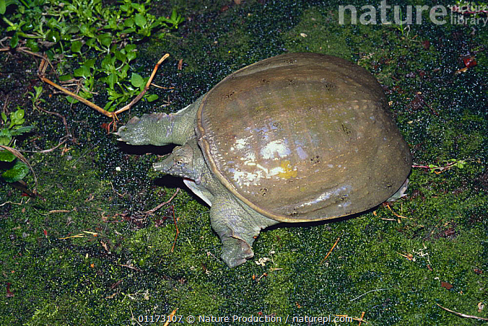 Chinese Softshell Turtle {Pelodiscus sinensis} Japan, ASIA,CHELONIA,JAPAN,NOSES,REPTILES,SOFTSHELL TURTLES,TURTLES,UGLY,VERTEBRATES, Turtles, Nature Production