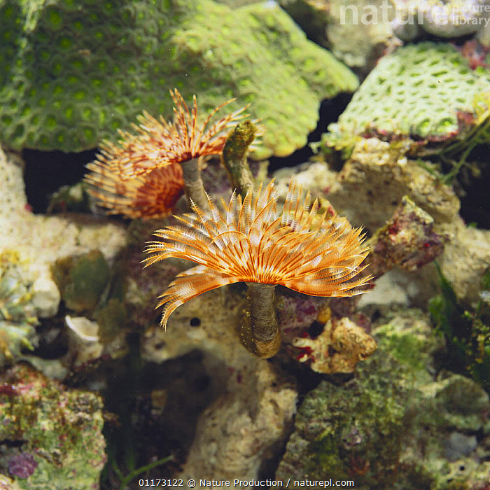 Feather Duster Worm {Sabellastarte japonica} with crown open, Japan, Sequence 2/2, BRISTLEWORMS, FEATHER DUSTER WORMS, MARINE, TEMPERATE, UNDERWATER, ANNELIDS, INVERTEBRATES, PACIFIC,Asia, Nature Production