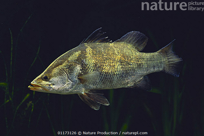 Japanese Lates {Lates japonicus} Japan, FISH,FRESHWATER,OSTEICHTHYES,PERCH,TEMPERATE,UNDERWATER,VERTEBRATES, Nature Production