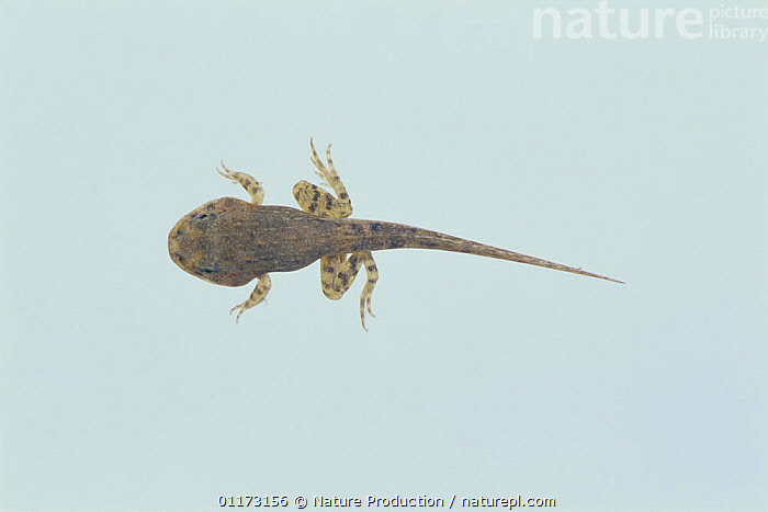 Wrinkled Frog {Rana rugosa} tadpole (41mm in length, with fore and hind legs) Japan, sequence 2/4, AMPHIBIANS, Anura, BABIES, DEVELOPMENT, FRESHWATER, FROGS, GROWTH, LARVAE, Tadpoles, TEMPERATE, VERTEBRATES,Concepts, Nature Production