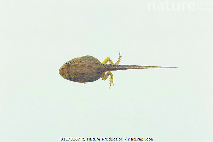 Daruma pond frog {Rana porosa brevipoda} tadpole (45mm in length, with hind legs), Japan, sequence 3/4, AMPHIBIANS, Anura, ASIA, BABIES, DEVELOPMENT, FRESHWATER, FROGS, GROWTH, JAPAN, Tadpoles, TEMPERATE, UNDERWATER, VERTEBRATES,Concepts, Nature Production