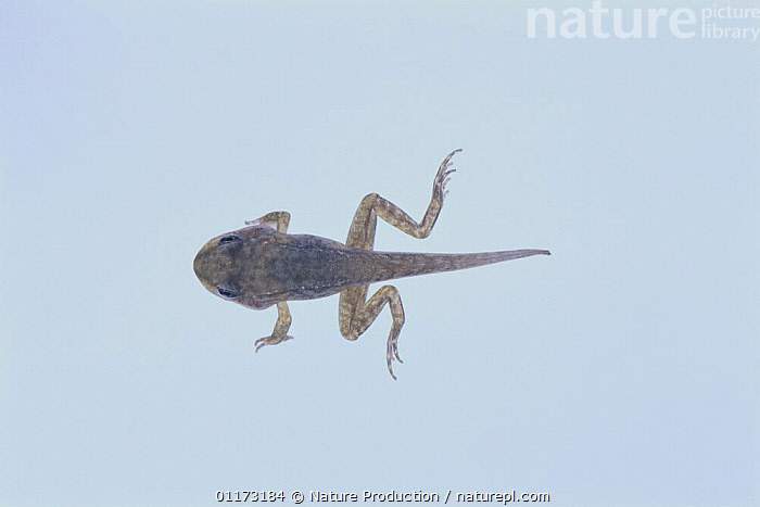 Japanese Brown Frog {Rana japonica} tadpole (33mm in length with fore and hind legs) Japan, sequence 4/4, AMPHIBIANS,ANURA,ASIA,BABIES,DEVELOPMENT,FRESHWATER,FROGLET,FROGS,GROWTH,JAPAN,UNDERWATER,VERTEBRATES,Concepts, Nature Production