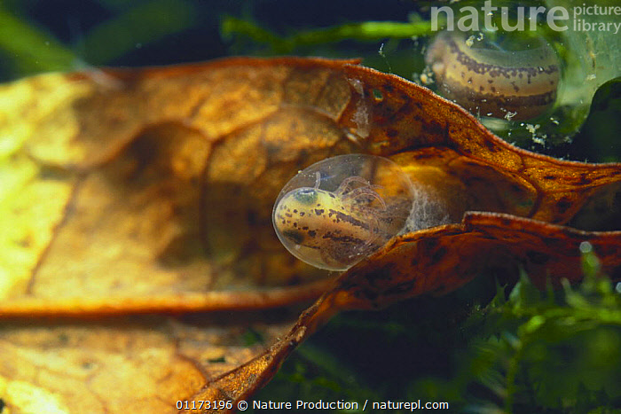Japanese Firebelly Newt {Cynops pyrrhogaster} larva in egg ready to hatch, Japan, AMPHIBIANS,ASIA,BABIES,EGGS,EMBRYO,FRESHWATER,JAPAN,NEWTS,UNDERWATER,VERTEBRATES,Caudata, Nature Production