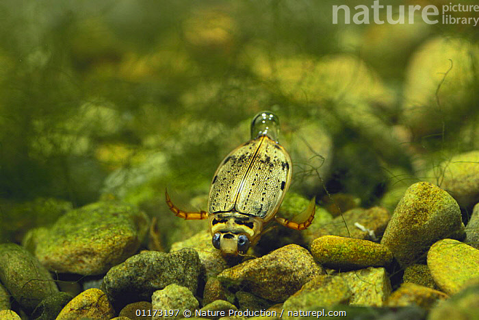 Diving Beetle {Eretes sticticus} with an air bubble at the end of its tail, Japan, ASIA,BEHAVIOUR,BOUYANCY,COLEOPTERA,FRESHWATER,INSECTS,INVERTEBRATES,JAPAN,UNDERWATER,WATER BEETLES, Nature Production