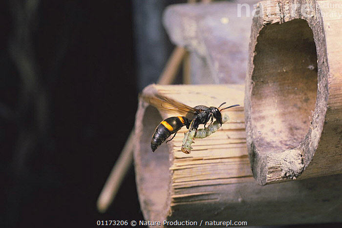 Mason Wasp {Orancistrocerus drewseni} carrying a cabbage moth caterpillar {Acanthognathus teledectus} to its nest, Japan, ASIA,BEHAVIOUR,FLYING,HYMENOPTERA,INSECTS,INVERTEBRATES,JAPAN,LARVAE,LEPIDOPTERA,NESTS,POTTER WASPS,PREDATION, Nature Production