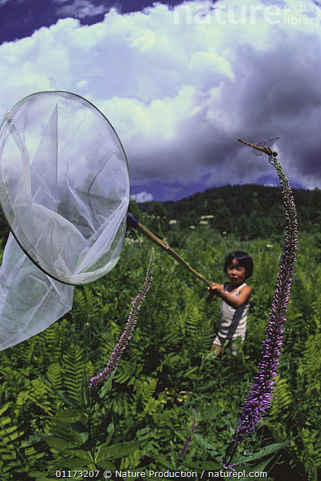 Japanese Boy catching a Dragonfly in a net, Japan, ASIA,CHILDREN,DRAGONFLIES,INSECTS,JAPAN,NETS,ODONATA,RESEARCH,TRAPPING,VERTICAL,Invertebrates, Nature Production