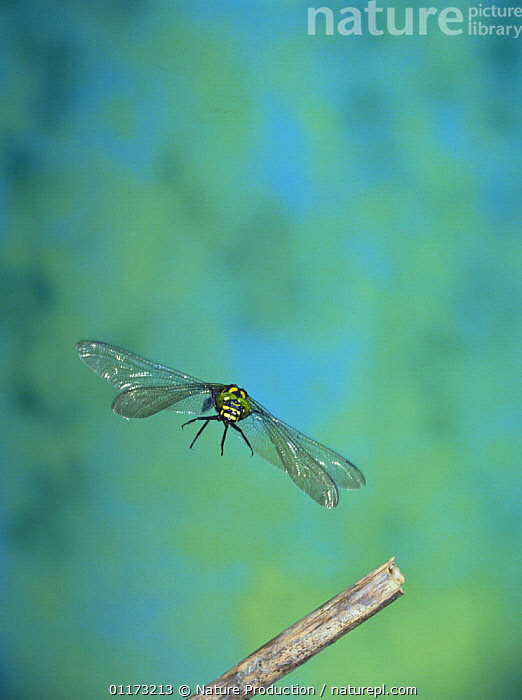 Giant Spiketail / Great Dragonfly {Anotogaster sieboldii} flying, Japan, ASIA,BEHAVIOUR,DRAGONFLIES,FLYING,GREAT DRAGONFLY,INSECTS,INVERTEBRATES,JAPAN,ODONATA,VERTICAL, Nature Production