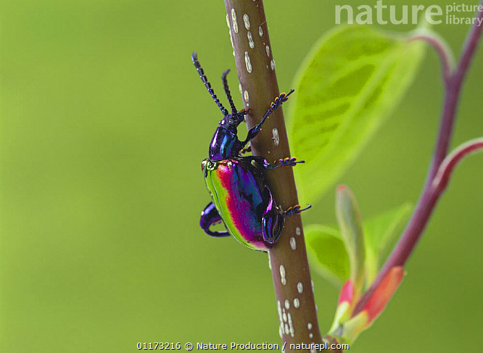 Jewelled Frog Beetle {Sagra buqueti} Malaysia, ASIA,COLEOPTERA,COLOURFUL,INSECTS,INVERTEBRATES,IRRIDESCENCE,IRRIDESCENT,KING KONG BEETLE,LEAF BEETLES,VERTICAL,Anura,Frogs, Nature Production