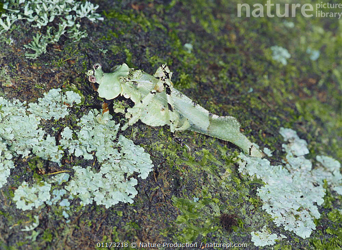Katydid camouflaged as lichen rock, Asia, ASIA,BUSH CRICKET,CAMOUFLAGE,GRASSHOPPERS,INSECTS,INVERTEBRATES,KATYDIDS,LICHENS,ORTHOPTERA,Plants, Nature Production