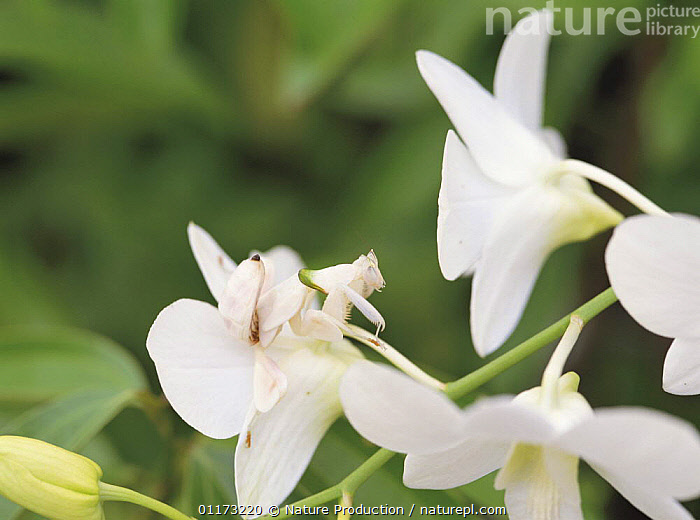 Orchid Mantis {Hymenopus coronatus} larva camouflaged on orchid flower, Malaysia, ASIA,CAMOUFLAGE,FLOWERS,INSECTS,INVERTEBRATES,MANTIDS,ORCHIDS,PHASMIDA,Mantodea, Nature Production