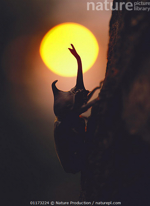 Japanese Horned / Rhinoceros Beetle {Allomyrina dichotomus} silhouette against setting sun at dusk, Asia, ASIA, COLEOPTERA, HORNS, INSECTS, INVERTEBRATES, SCARAB BEETLES, SILHOUETTES, SUNSET, VERTICAL, Nature Production
