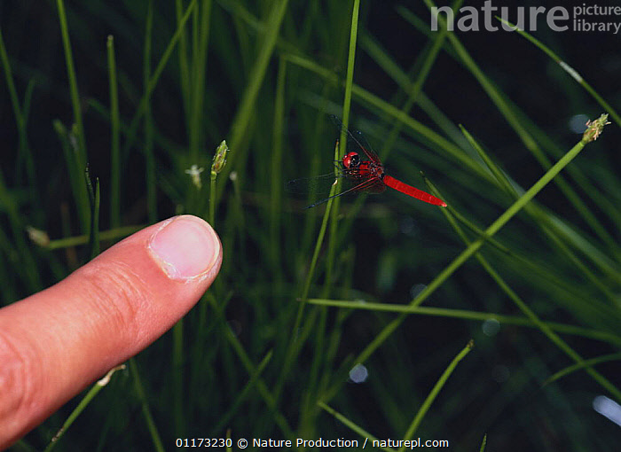 Scarlet Dwarf dragonfly {Nannophya pygmaea} male compared to a man's finger, Asia, ASIA,DRAGONFLIES,HAND,INSECTS,INVERTEBRATES,ODONATA,PEOPLE,RED,SIZE,SMALL, Nature Production