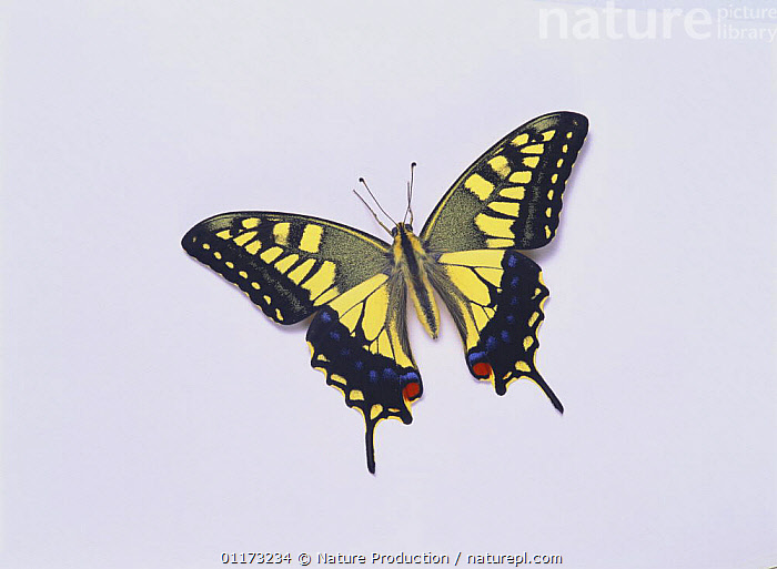 Yellow Swallowtail butterfly {Papilio machaon hippocrates}, BUTTERFLIES,CUTOUT,INSECTS,INVERTEBRATES,LEPIDOPTERA,PORTRAITS,SWALLOWTAIL BUTTERFLIES, Nature Production
