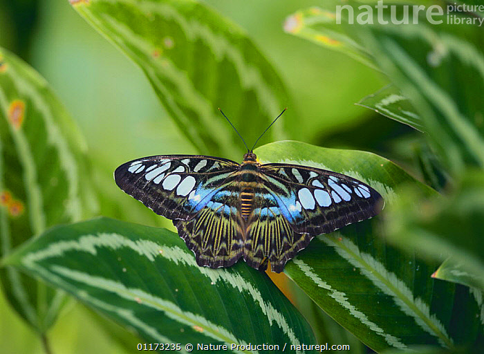 Malaysian Blue Clipper butterfly {Parthenos sylvia} Malaysia, ARTHROPODS,ASIA,BUTTERFLIES,INSECTS,INVERTEBRATES,LEPIDOPTERA, Nature Production