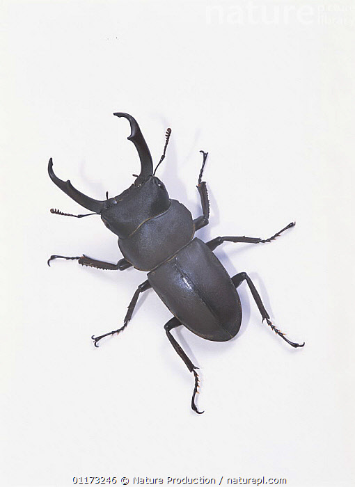 Little Stag Beetle {Dorcus rectus rectus} Asia, ASIA,COLEOPTERA,CUTOUT,INSECTS,INVERTEBRATES,STAG BEETLES,VERTICAL, Nature Production