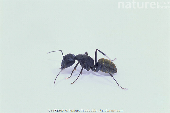 Black Carpenter Ant (worker) {Camponotus japonicus} Asia, ANTS,ASIA,CUTOUT,HYMENOPTERA,INSECTS,INVERTEBRATES, Nature Production