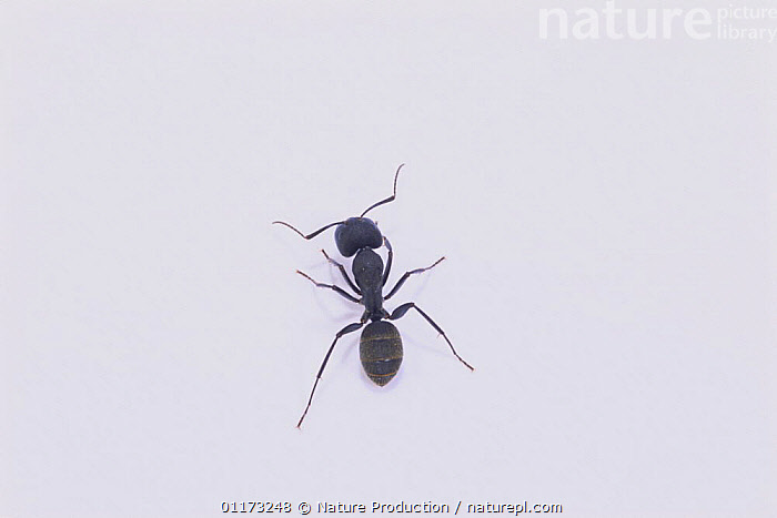Black Carpenter Ant (worker) {Camponotus japonicus} Asia, ANTS,ASIA,CUTOUT,HYMENOPTERA,INSECTS,INVERTEBRATES,VERTICAL, Nature Production